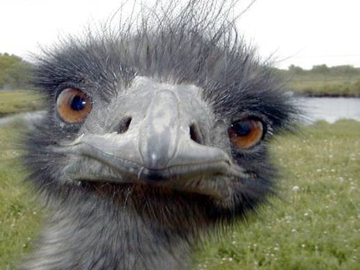 Cute Ostrich Pictures Cute Ostrich Face Close up